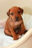 Ridgeback puppy Royalty Free Stock Photos