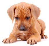 Ridgeback puppy isolated. Portrait of a cute six weeks old thoroughbred Rhodesian Ridgeback hound dog puppy lying and looking down. Image isolated on white Stock Image