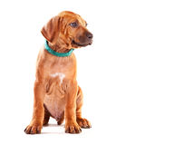 Ridgeback Puppy Royalty Free Stock Photo