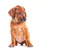 Ridgeback Puppy Royalty Free Stock Image