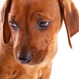 Ridgeback Puppy Stock Images