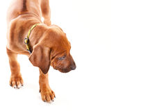Ridgeback Puppy Royalty Free Stock Photos