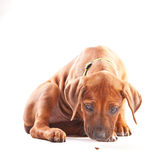 Ridgeback Puppy Stock Photos