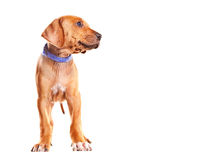 Ridgeback Puppy Stock Photo