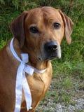 Ridgeback Rhodesian собаки и белая лента стоковые фотографии rf