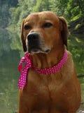 Ridgeback Rhodesian собаки и розовая лента стоковые фотографии rf