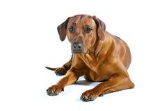 Ridgeback rhodesian del bello giovane cane isolato su bianco Fotografie Stock