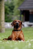 ridgeback rhodesian fier de colorfull Photo libre de droits