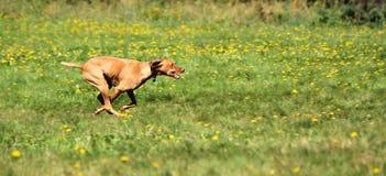 Ridgeback rhodesian veloce Fotografie Stock
