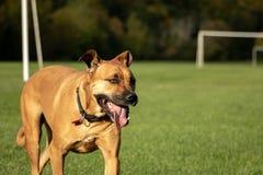 Smiling Happy Rhodesian Ridgeback Dog In Park. Ridgeback runs in park and enjoys life stock photos