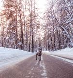 Ridgeback tailandês do inverno cinzento na floresta selvagem na estrada Imagens de Stock