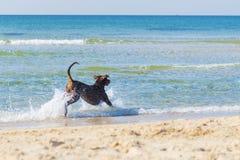 Ridgeback vermelho que corre e que joga no mar, Tel Aviv, Israel Imagem de Stock Royalty Free