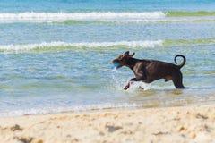Ridgeback vermelho que corre e que joga no mar, Tel Aviv, Israel Fotografia de Stock Royalty Free