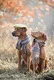 Ridgeback and Vizsla autumn portrait in wear royalty free stock photo