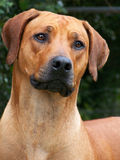 Ridgeback02 Royalty Free Stock Image