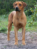 Ridgeback03. A ridgeback posing for the camera on a farm Stock Photo
