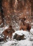 Ridgebacks στο χιόνι Στοκ φωτογραφία με δικαίωμα ελεύθερης χρήσης