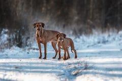 Ridgebacks στο χιόνι Στοκ Εικόνα