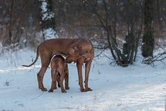 Ridgebacks auf dem Schnee Stockbild