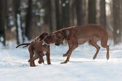 Ridgebacks auf dem Schnee Lizenzfreie Stockfotos