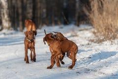 Ridgebacks auf dem Schnee Lizenzfreies Stockfoto