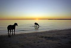Ridgebacks door zonsondergang Royalty-vrije Stock Foto's
