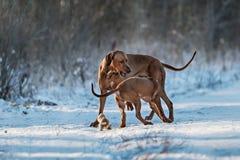 Ridgebacks op de sneeuw Stock Foto's