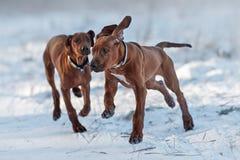 Ridgebacks op de sneeuw Stock Fotografie