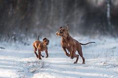Ridgebacks op de sneeuw Stock Foto