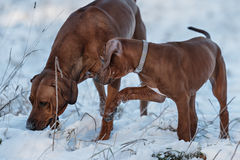 Ridgebacks op de sneeuw Stock Afbeeldingen