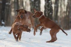 Ridgebacks op de sneeuw Royalty-vrije Stock Foto's