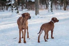 Ridgebacks op de sneeuw Stock Afbeelding
