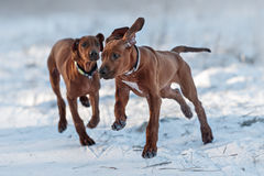Ridgebacks on the snow Stock Photography