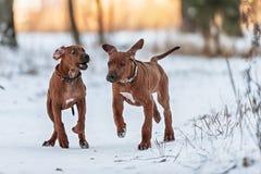 Ridgebacks on the snow Royalty Free Stock Images