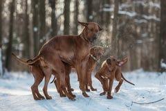 Ridgebacks on the snow Royalty Free Stock Photo