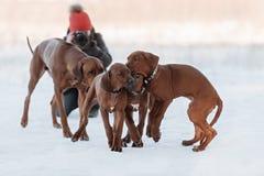 Ridgebacks on the snow Stock Photo