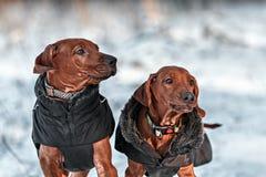 Ridgebacks on the snow Royalty Free Stock Image