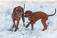 Ridgebacks on the snow Stock Images