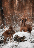 Ridgebacks sulla neve Fotografia Stock Libera da Diritti
