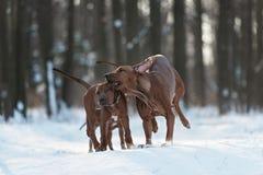 Ridgebacks sulla neve Fotografie Stock Libere da Diritti