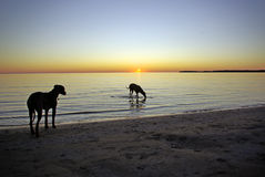 Ridgebacks by sunset Royalty Free Stock Photos