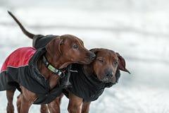Ridgebacks sur la neige Photographie stock libre de droits