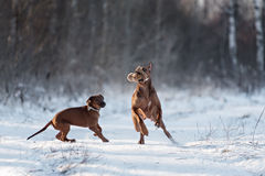 Ridgebacks sur la neige Images libres de droits
