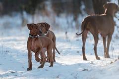 Ridgebacks sur la neige Photos libres de droits