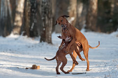 Ridgebacks sur la neige Photo stock