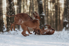 Ridgebacks sur la neige Photos stock