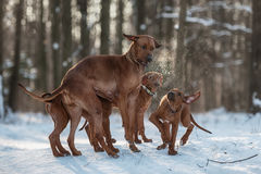 Ridgebacks sur la neige Photo libre de droits