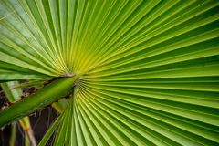 Close up of palm tree leaf ridges stock images