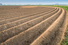 Ridges after planting the seed potatoes Stock Photography