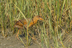 Ridgway's Rail. Adult Ridgway's Rail, Formally Known As California Clapper Rail, Foraging In Saltgrass At The Tijuana Slough National Wildlife Refuge, Imperial Royalty Free Stock Image